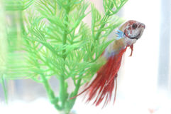 Betta Fish Behind Plastic Plant Stockbild