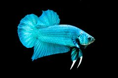 Betta fish. On the black background Stock Images