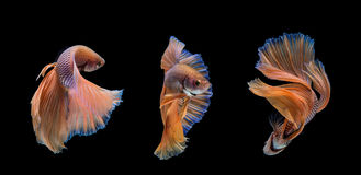 Betta Royalty Free Stock Images