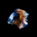 Betta fish on black background Stock Photography