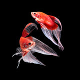 Betta fish on black Royalty Free Stock Photo