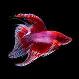 Betta fish on black Royalty Free Stock Images