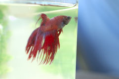Betta Fish Blue Background Royalty Free Stock Images