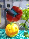 Betta Fish Blue and Red royalty free stock photo