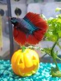 Betta Fish Blue y rojo foto de archivo libre de regalías