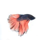 Betta fish Stock Photography