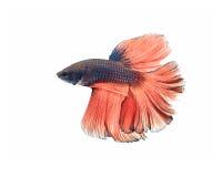 Betta fish Royalty Free Stock Image