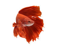 Betta fish. Capture the moving moment of white siamese fighting fish isolated on white background. Betta fish stock photography