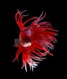Betta Fish closeup. Colorful Dragon Fish. Aquarium. Isolated on Royalty Free Stock Image