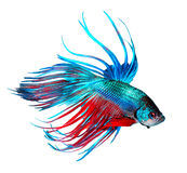 Betta fish. Colorful Dragon fish isolated on white Stock Photo