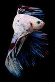 Betta Fish em um fundo preto Fotografia de Stock