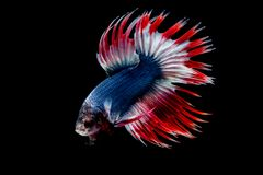 Betta fish Fight in the aquarium