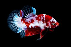 Betta fish Fight in the aquarium royalty free stock photo