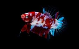 Betta fish Fight in the