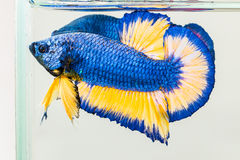 Betta fish flaring Royalty Free Stock Images