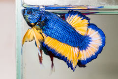 Betta fish flaring. Betta fish (siamese fighting fish) flaring to each other Royalty Free Stock Photography