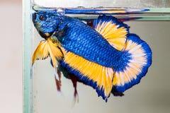 Betta fish flaring Royalty Free Stock Photography