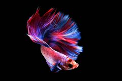 Betta fish in freedom action Stock Photos