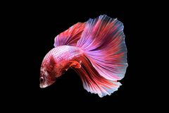 Betta fish in freedom action Stock Images