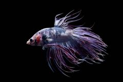 Betta fish in freedom action Royalty Free Stock Images