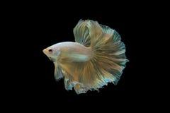 Betta fish gold dragon Stock Images