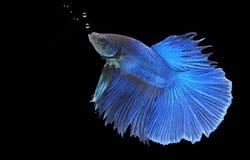 Betta fish (half moon) or Siamese fighting fish Stock Photography