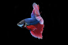 Betta fish (half moon) or Siamese fighting fish Royalty Free Stock Image
