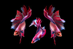 Betta fish isolated on black background. Flying betta fish stock photos