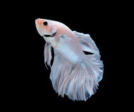 Betta fish isolated on white background Royalty Free Stock Photos