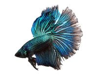 Blue betta fish isolated on white background. stock photography