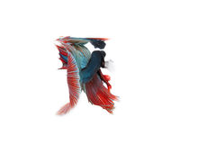 Betta fish isolated on white background. Flying betta fish Royalty Free Stock Photos