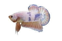 Betta fish isolated on white Royalty Free Stock Images