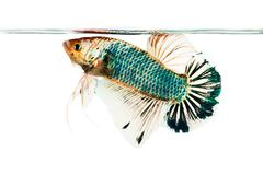 Betta fish isolated on white Royalty Free Stock Photography