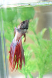 Betta Fish Looking Up in Tank Royalty Free Stock Photography