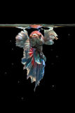 Betta fish. My pet Siamesse Fighting fish stock photo