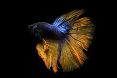 Betta fish. My pet Siamesse Fighting fish Stock Images