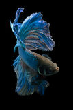 Betta fish. My pet Siamesse Fighting fish (Betta splendens), also sometimes known as the Betta, which is popular as an aquarium fish royalty free stock photos