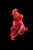 Betta fish. My pet Siamesse Fighting fish (Betta splendens), also sometimes known as the Betta, which is popular as an aquarium fish stock photos