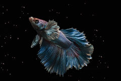 Betta fish. My pet Siamesse Fighting fish (Betta splendens), also sometimes known as the Betta, which is popular as an aquarium fish stock photography