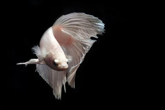Betta fish. My pet Siamesse Fighting fish (Betta splendens), also sometimes known as the Betta, which is popular as an aquarium fish royalty free stock image