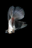 Betta fish. My pet Siamesse Fighting fish (Betta splendens), also sometimes known as the Betta, which is popular as an aquarium fish stock images
