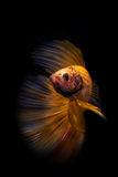 Betta fish. My pet Siamesse Fighting fish (Betta splendens), also sometimes known as the Betta, which is popular as an aquarium fish stock photo