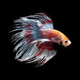 Betta fish ob black Royalty Free Stock Images