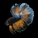 Betta Fish On Black Background Stock Image