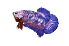 Betta fish Stock Images