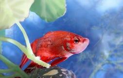Betta fish. Red betta fish in water Stock Image