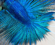 Betta fish scales. Close up shot of blue betta fish scales. Betta Splendens Stock Images