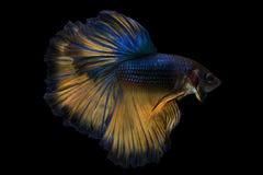 Betta fish, siamese fighting fish, betta splendens stock photo