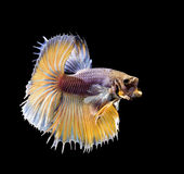 Betta fish, siamese fighting fish royalty free stock photography