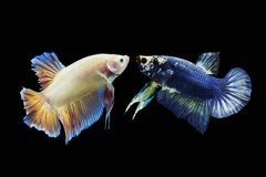 Betta fish, Siamese fighting fish Stock Photos